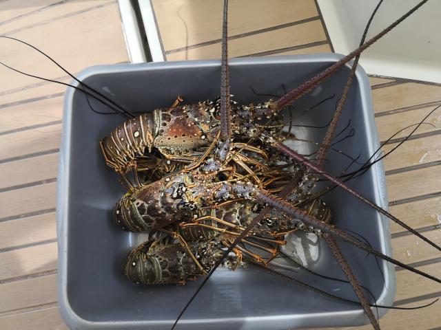 Isla Beata Lobster