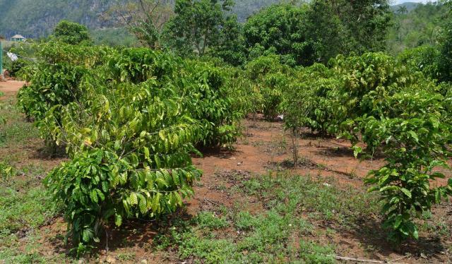 Coffe plant