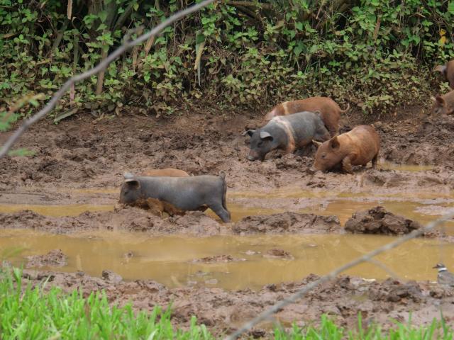 Vinjales happy pig 4