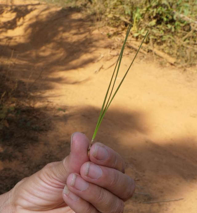 Vinjales pine 1