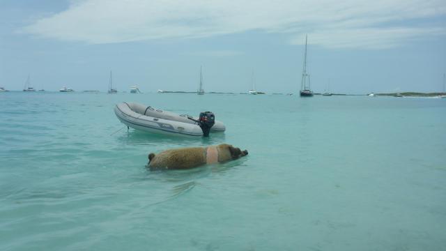 Staniel Cay Pig 3