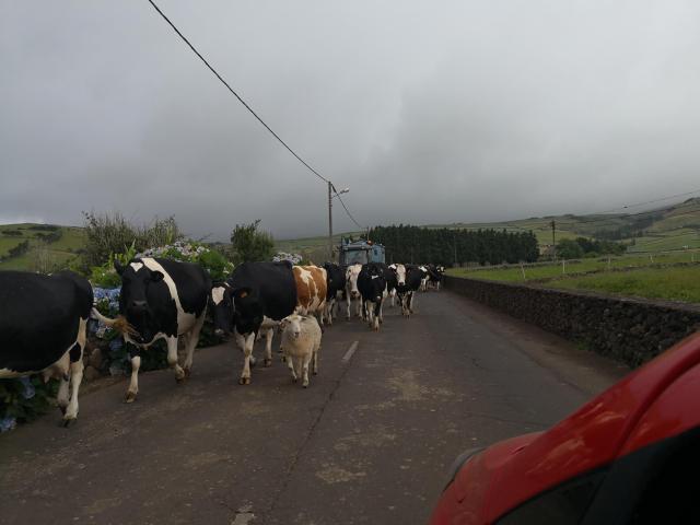 Sao Jorge Cow