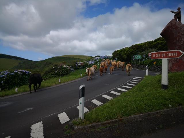 Terciera cows
